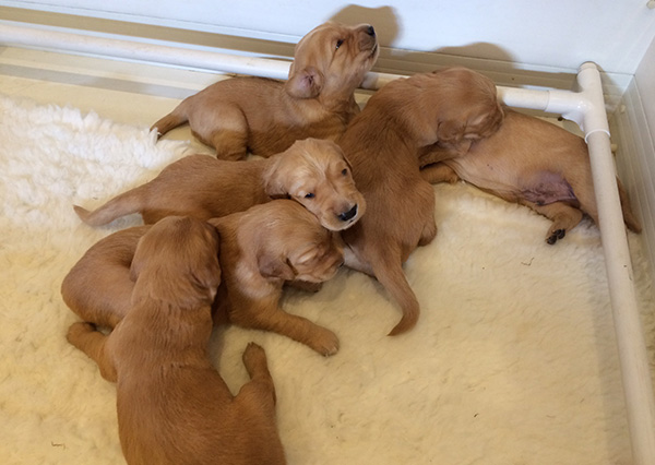 Wadesmill Daffodil gundog puppies